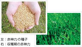 左:赤神力の種子/右:収穫期の赤神力
